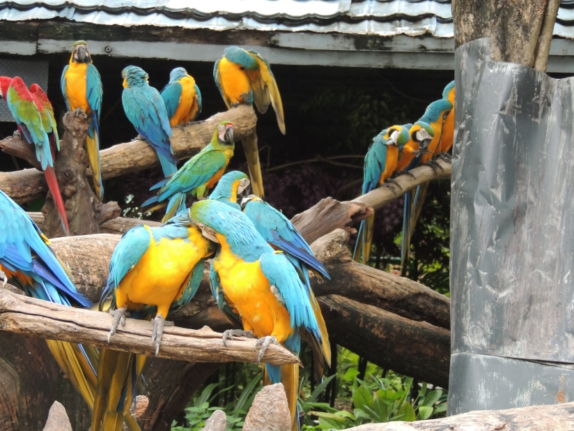 Blue & Yellow Macaws