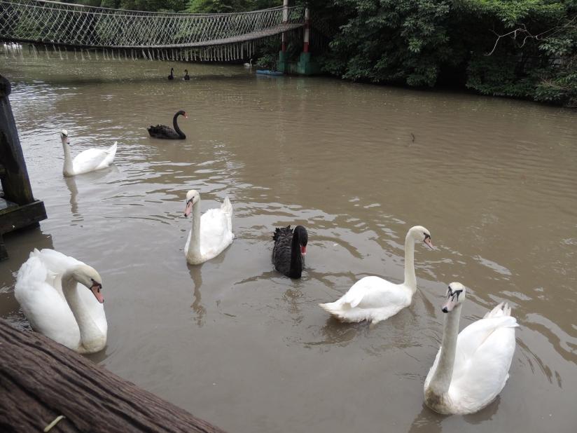 Swans at Safari Park