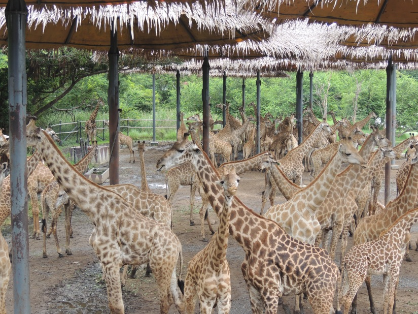 Giraffes galore