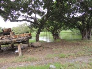 Tigers resting in the park